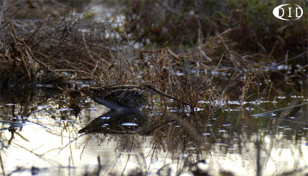 Bécassine des marais (Gallinago gallinago) de passage