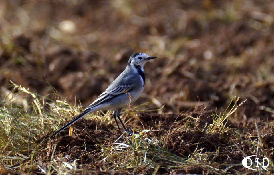 Bergeronnette grise (Motacilla alba) sédentaire