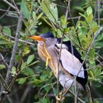 Blongios nain (Ixobrychus minutus) nicheur