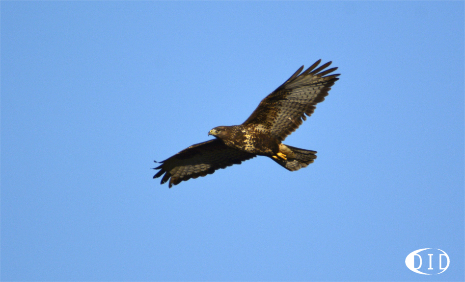 Buse variable (Buteo buteo) sédentaire