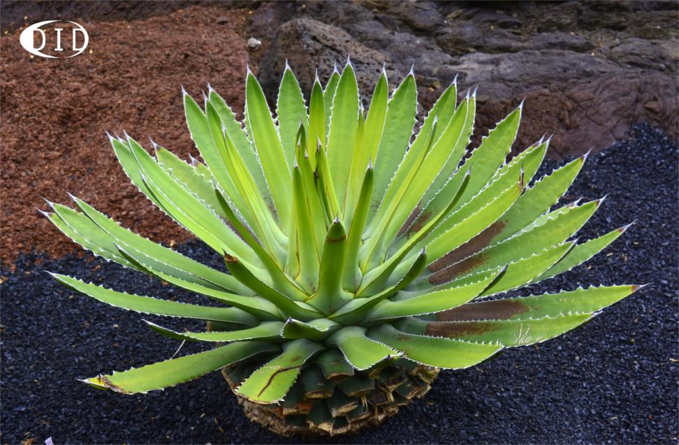 Cactus de Lanzarote