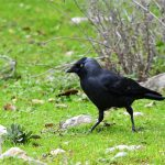 Choucas des tours (Corvus monedula) sédentaire