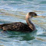 cormoran huppé juvénile