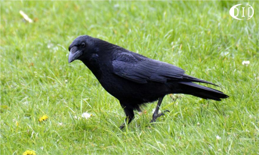 Corneille noire (Corvus corone) sédentaire