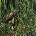 Coucou gris (Cuculus canorus) nicheur