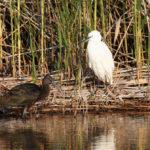 ibis falcinelle/aigrette garzette