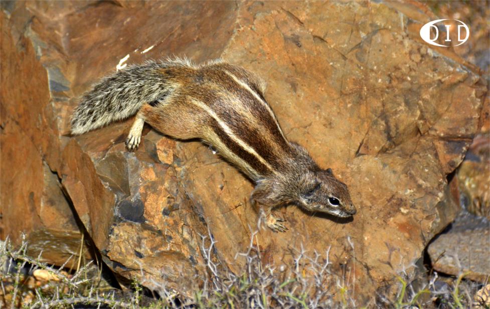 écureuil de Barbarie