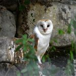 Effraie des clochers (Tyto alba) sédentaire