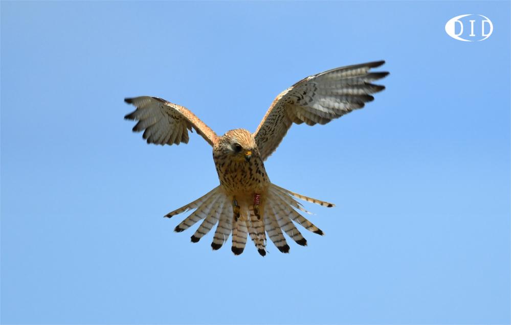 Faucon crécerellette femelle (Falco naumanni) de passage