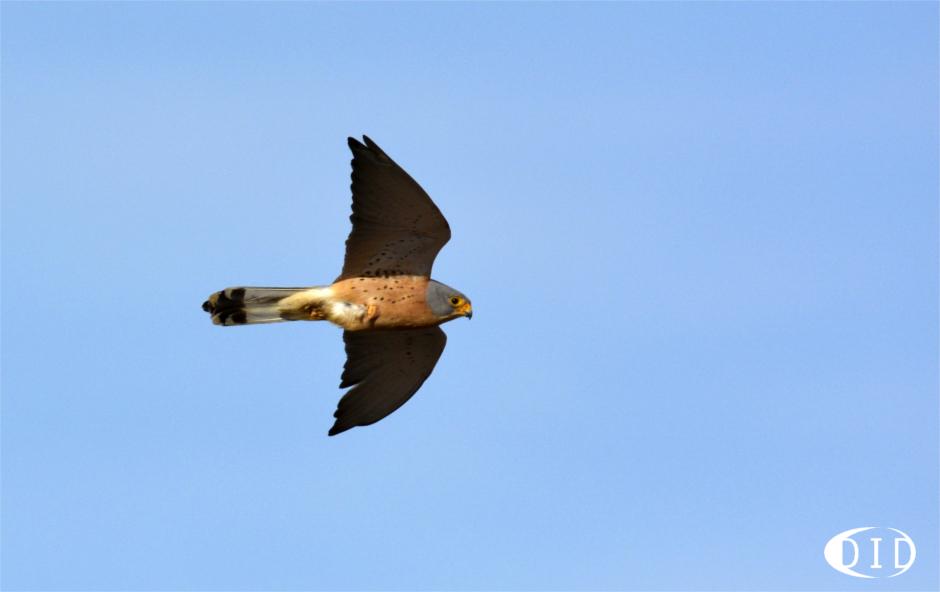 Faucon crécerellette (Falco naumanni) de passage