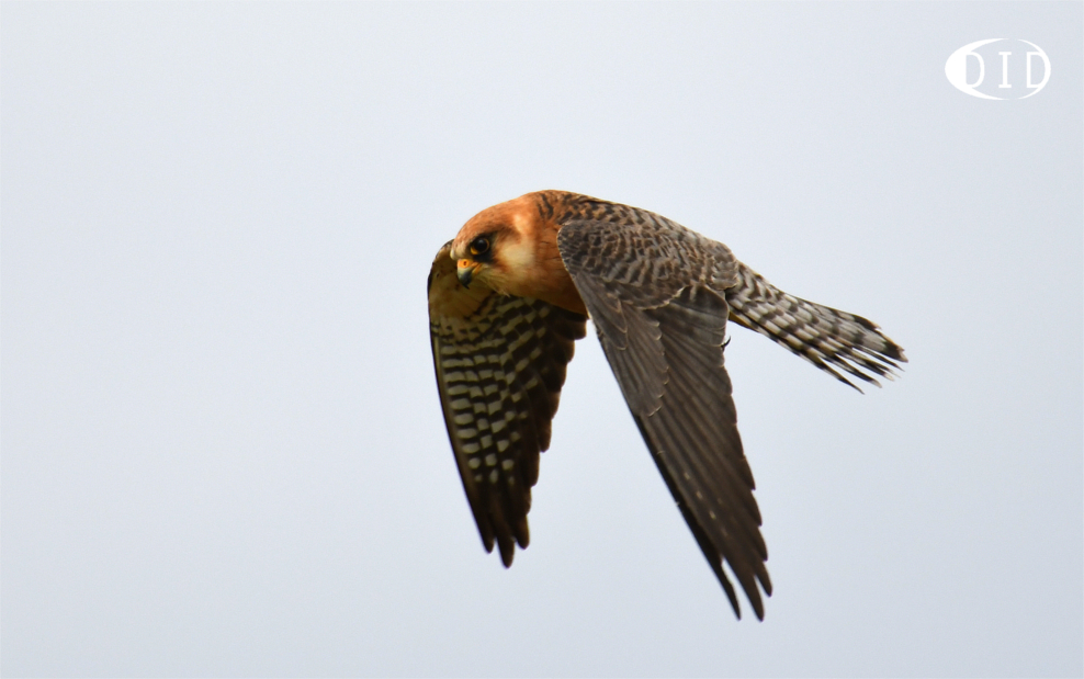 faucon kobez femelle