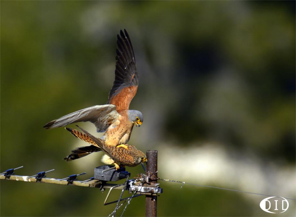 faucons crécerellettes