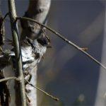 Fauvette à tête noire (Sylvia atricapilla) sédentaire