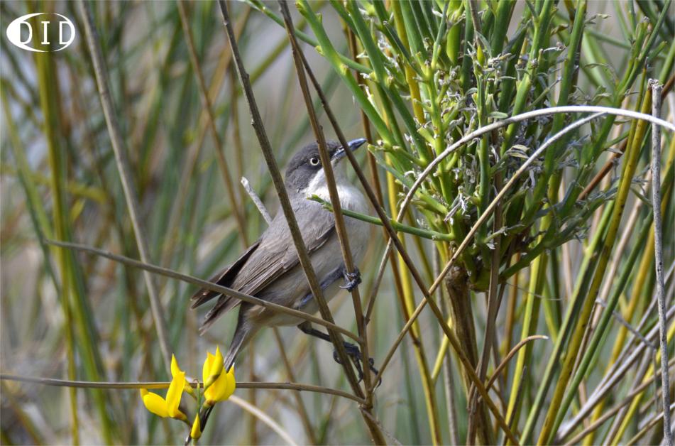Fauvette orphée (Sylvia hortensis) nicheur