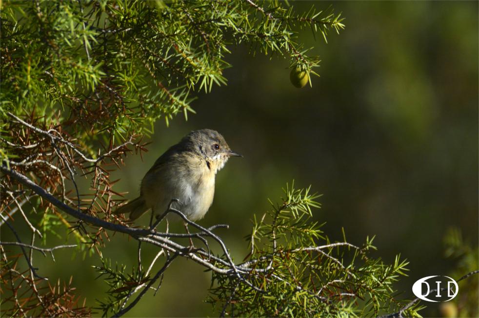 Fauvette passerinette femelle (Sylvia cantilans) nicheur