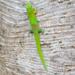 gecko poudre d'or
