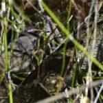 Gorgebleue à miroir (Luscinia svecica) de passage