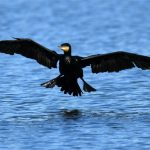 Grand Cormoran (Phalacrocorax carbo) hivernant