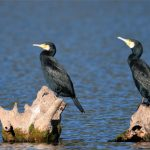 Grands Cormorans (Phalacrocorax carbo) hivernant