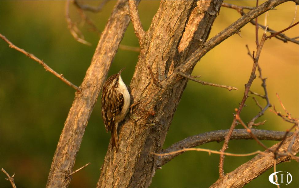 Grimpereau des jardins (Certhia brachydactyla) sédentaire