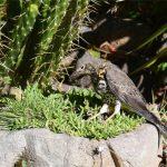 Grive draine (Turdus viscivorus) hivernant