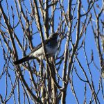 Grive litorne (Turdus pilaris) hivernant