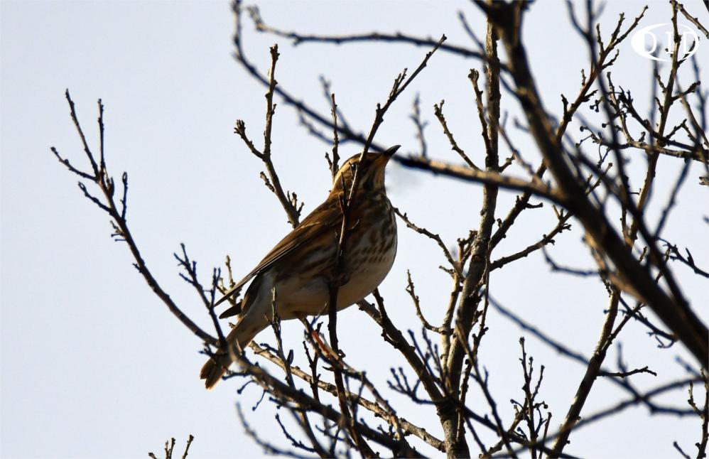 Grive mauvis (Turdus iliacus) hivernant