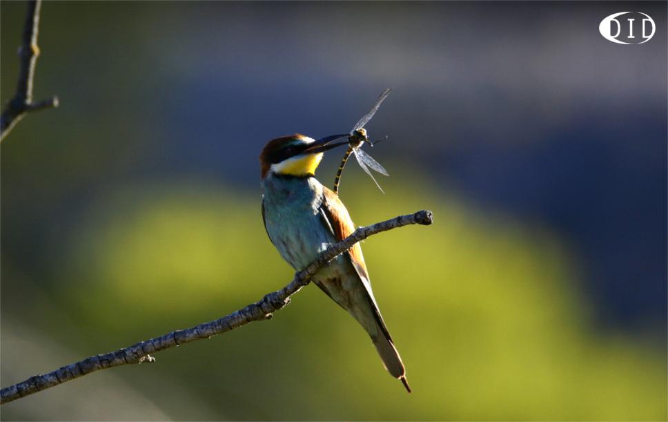 Guêpier d'Europe (Merops apiaster) nicheur