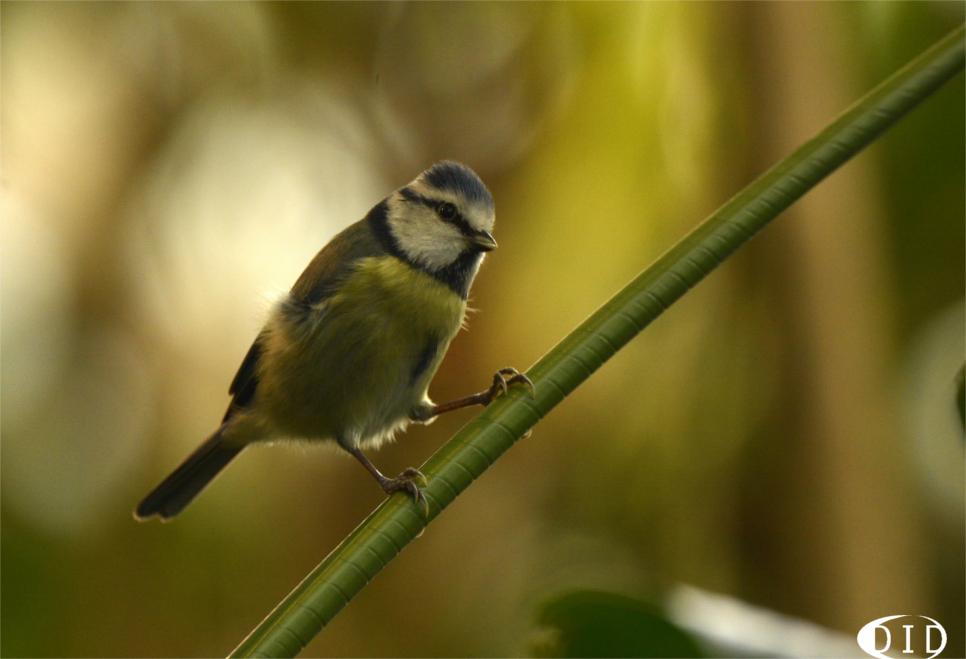 Mésange bleue (Parus caeruleus) sédentaire