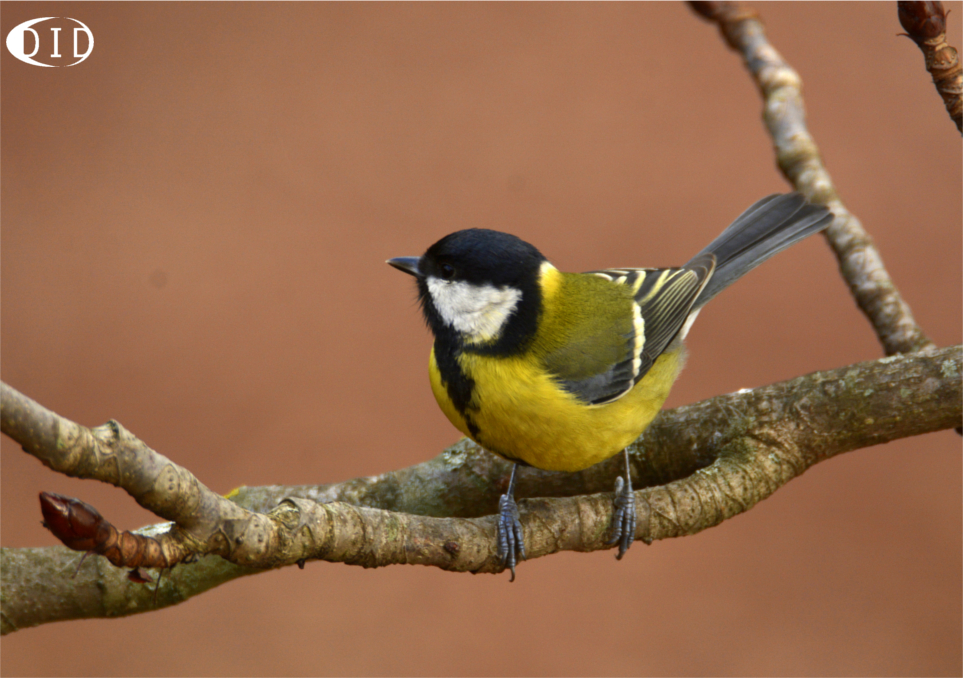 Mésange charbonniere (Parus major) sédentaire