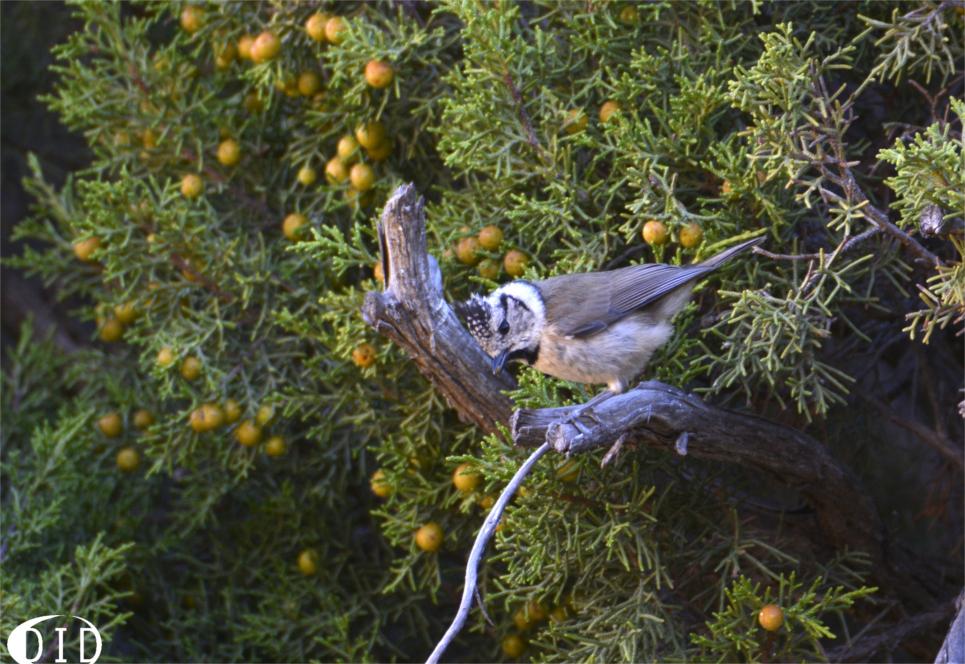 Mésange huppée (Parus cristatus) sédentaire