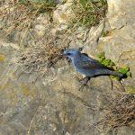Monticole bleu (Monticola solitarius) hivernant