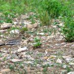 Oedicneme criard (Burhinus oedicnemus) nicheur