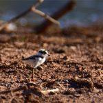 Petit Gravelot poussin(Charadrius dubius) nicheur