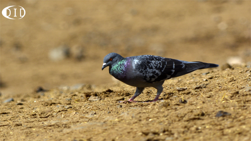 Pigeon biset (Columba livia) de passage