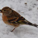 Pinson du Nord (Fringilla montifringilla) hivernant