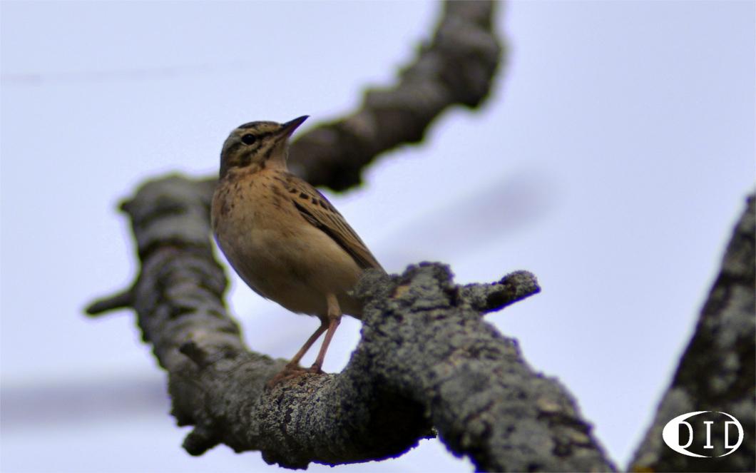 Pipit rousseline (Anthus campestris) nicheur