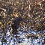 Râle d'eau (Rallus aquaticus) de passage