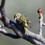 Tarin des aulnes femelle (Carduelis spinus) hivernant