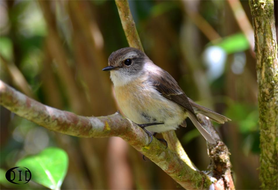 traquet de la Réunion femelle