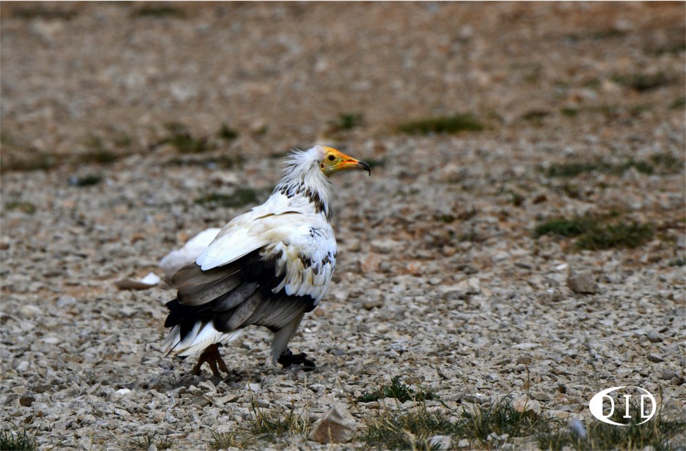 vautour percnoptère