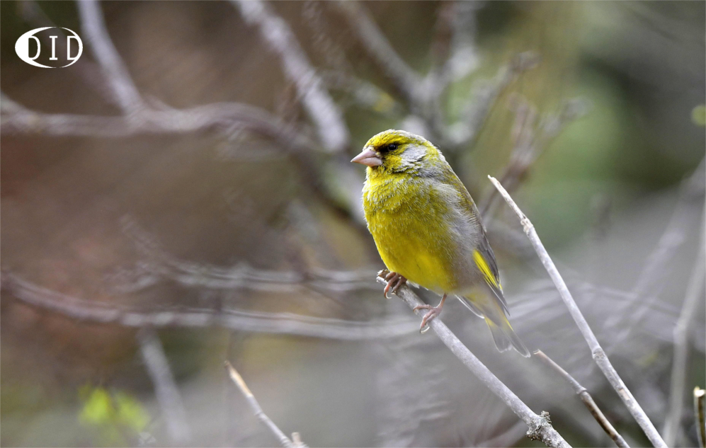 Verdier d'Europe (Carduelis chloris) sédentaire