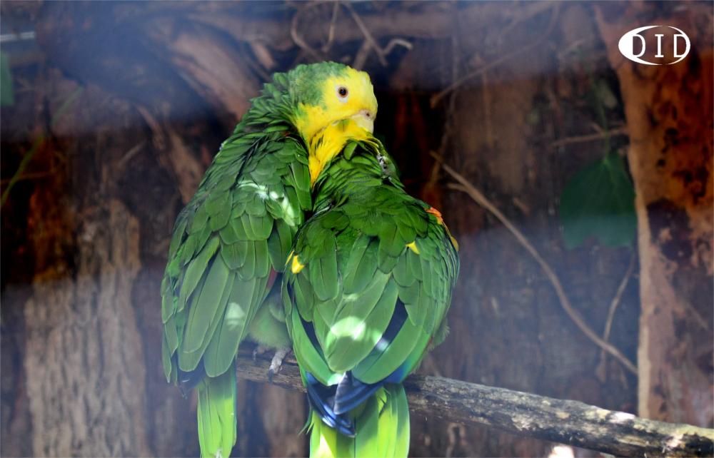 amazones à tête jaune