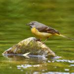 Bergeronnette des ruisseaux (Motacilla cinerea) sédentaire