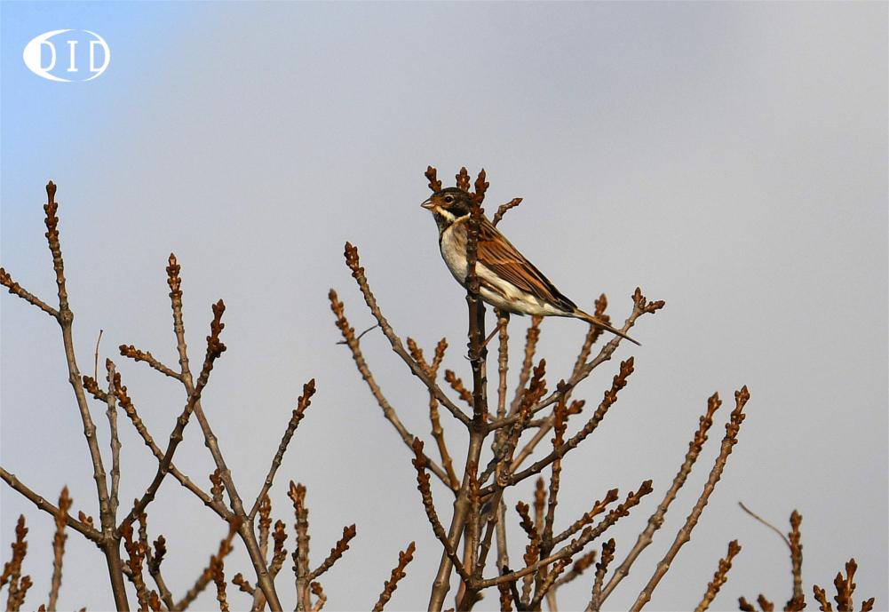 Bruant des roseaux (Emberiza schoeniclus) hivernant