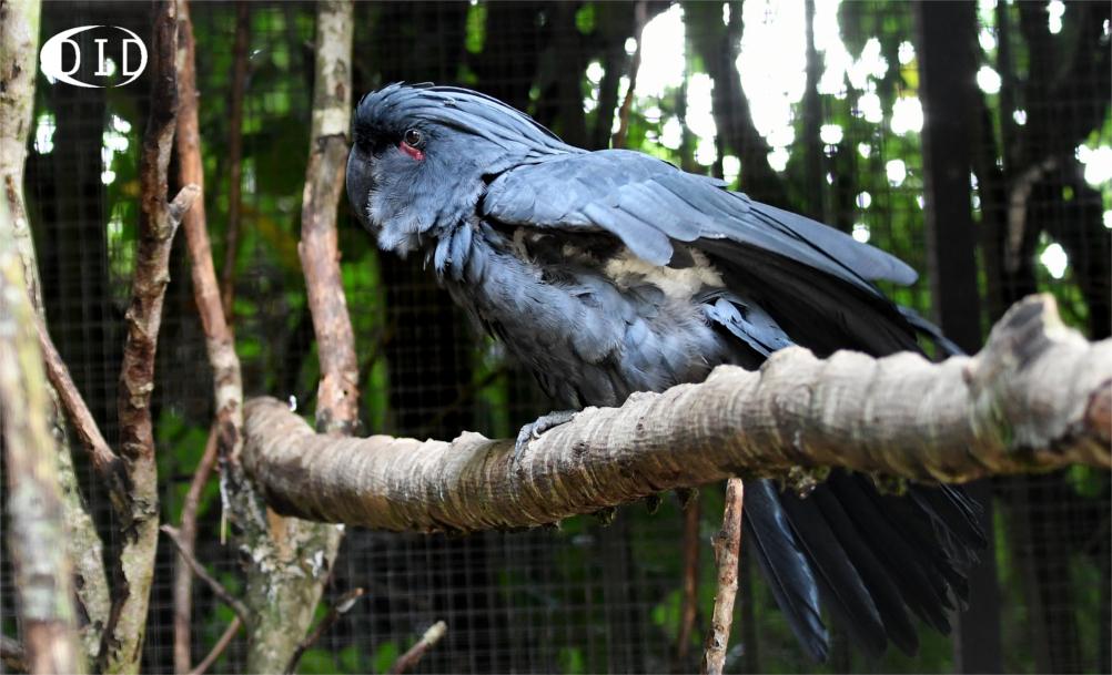 cacatoès noir