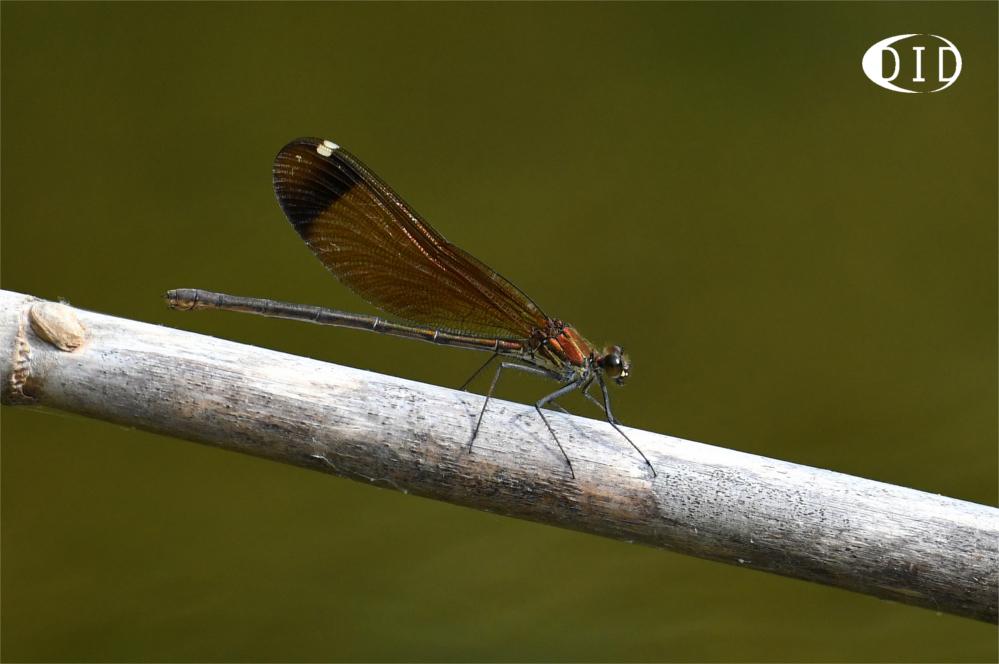 calopteryx hémorroïdal femelle