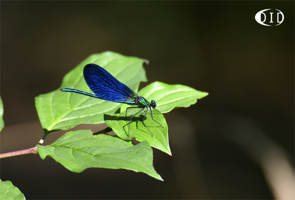 calopteryx méridional