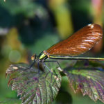 calopteryx méridional femelle