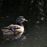 canard carolin femelle